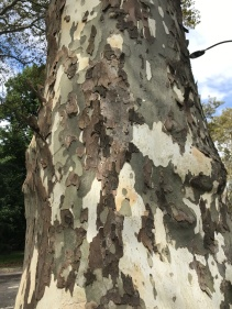 cammo bark on tree in Central Park
